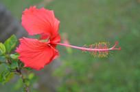 漂亮的扶桑花朵