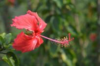 漂亮的扶桑花卉