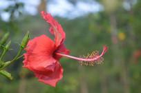 漂亮的红花扶桑