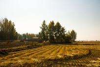 收割后的水田与地头的杨树