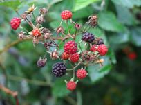 悬钩子红色的果实