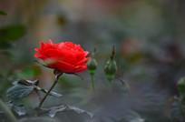 一朵美丽的红月季