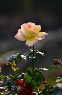 一朵美丽的玫瑰花