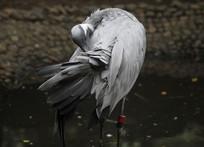 啄羽毛的白琵鹭