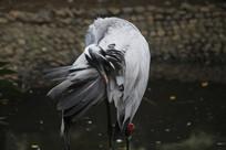 啄羽毛后的白琵鹭