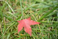 草丛中的红叶