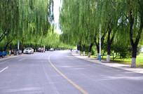 垂柳与马路