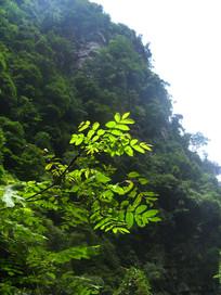 枫杨树枝与青山