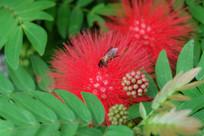 红花与蜜蜂