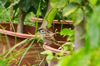 草丛花盆上的小鸟