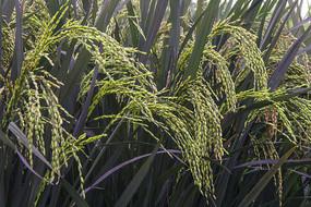 丰收的紫色稻米