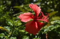 观赏植物大红花