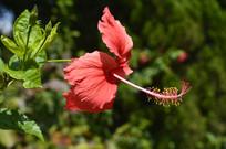 岭南大红花