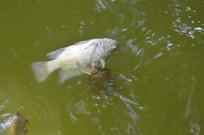 乌龟吃鲤鱼