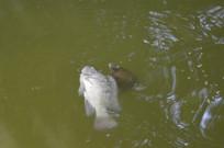乌龟和鲤鱼