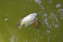 乌龟与死鲤鱼