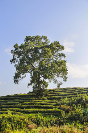 远看茶园古树