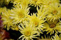 绽放的黄色小菊花