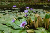 紫色睡莲群