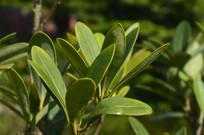 杜鹃茶叶子