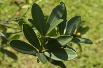 杜鹃红山茶的叶子
