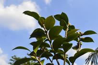 杜鹃红山茶枝叶