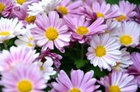 紫色小菊花雏菊