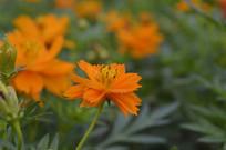 草本植物黄花波斯菊