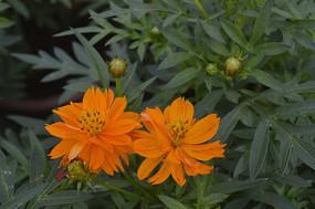 草本植物硫华菊黄芙蓉