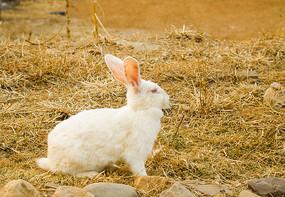 草地上一只白兔