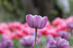 淡紫色的郁金香