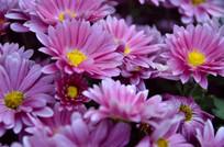 地坡菊新紫