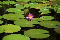 粉色在莲叶中开放的睡莲