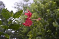 扶桑花大红花