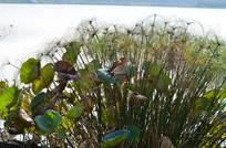 湖泊里的荷叶约水草