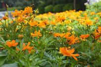 景区植物硫华菊