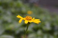 路边菊蟛蜞花