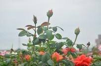 玫瑰花花骨朵