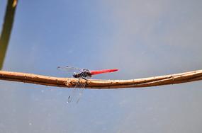 美丽的红蜻蜓
