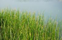 湿地水草植物