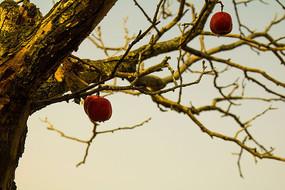 树干上的红山楂
