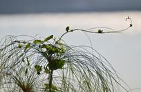 水草藤条叶子