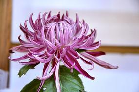 一朵紫色菊花