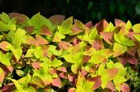 彩色叶子花草图片