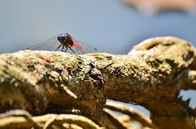 大树树干上的红蜻蜓