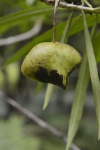 黄花夹竹桃果实