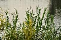 湖边的小草
