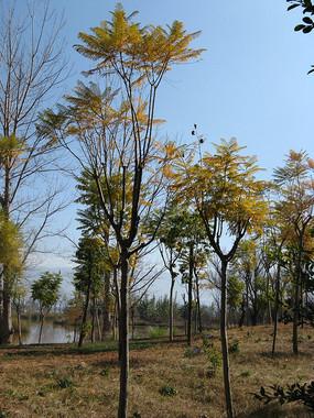 金秋湛蓝的天空与发黄的树叶