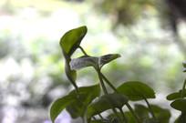 绿萝盆栽的叶子