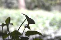 绿萝盆栽叶子剪影